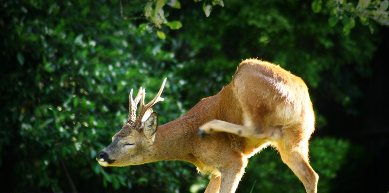Roe Deer (Stag)
