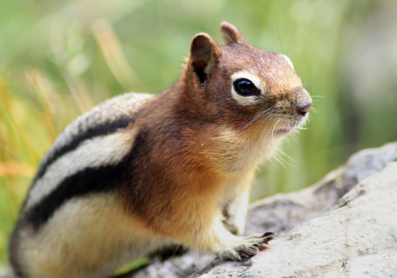 Male Golden-Mantled Ground Squirrel III (Chipmunk)