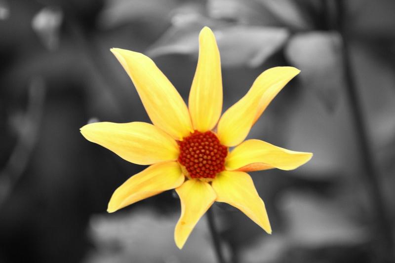 Yellow Flower with selective colour