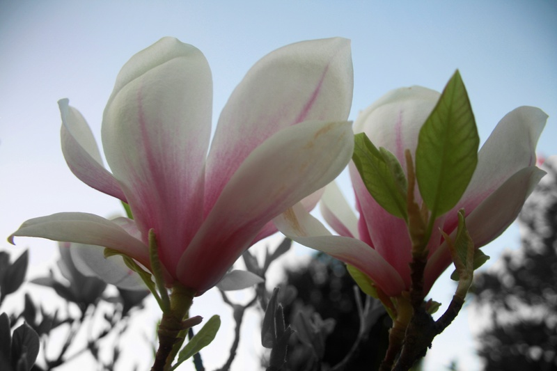 Magnolia Selective Colour