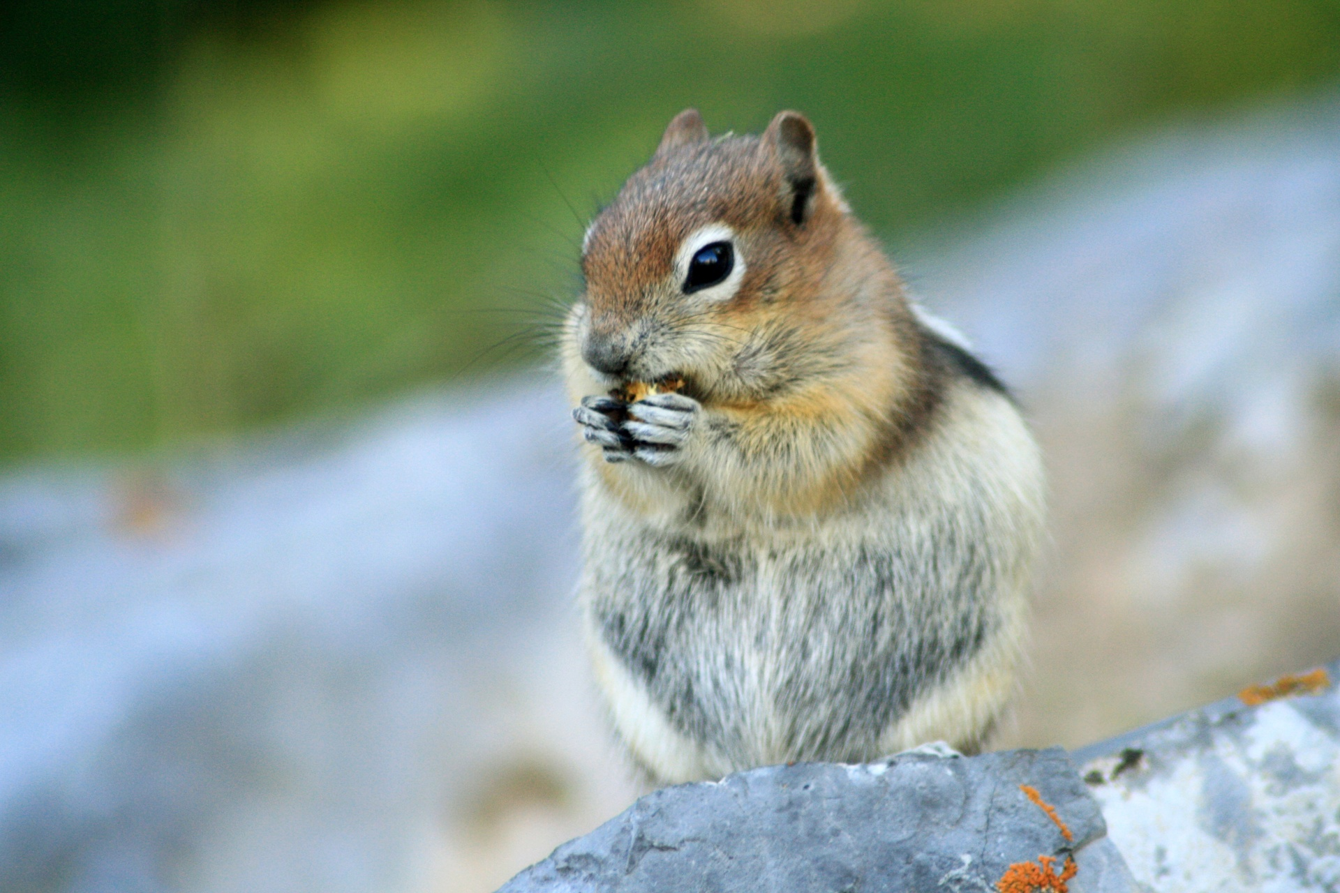 Male Golden-Mantled Ground Squirrel II (Chipmunk)