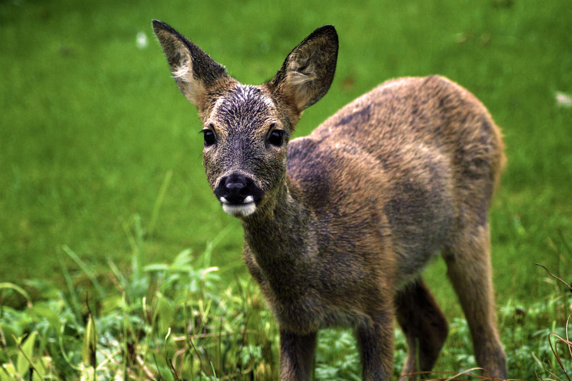 Baby Roe Deer 2