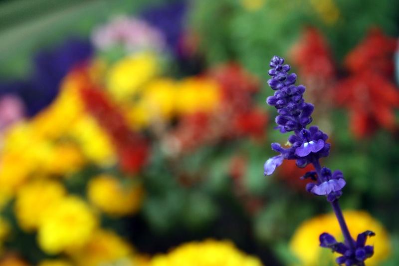 Lavender w/ a multicoloured background
